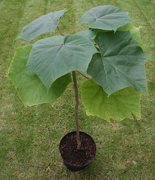 coltivazione Paulonia elongata