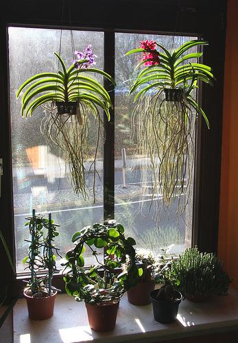 vanda orchidea coltivazione in vaso