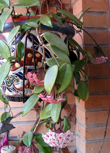 hoya (fiore di cera): consigli, coltivazione e cura - Fiori Cascanti Crescita Veloce