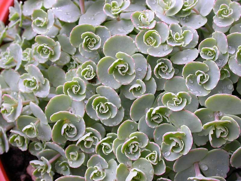 Le piante grasse consigli coltivazione e cura for Piante grasse succulente