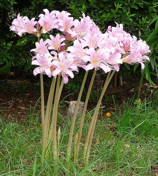 coltivazione lycoris squamigera