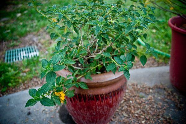 coltivazione in vaso lantana