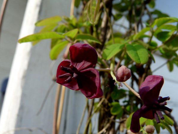 coltivazione akebia quinata
