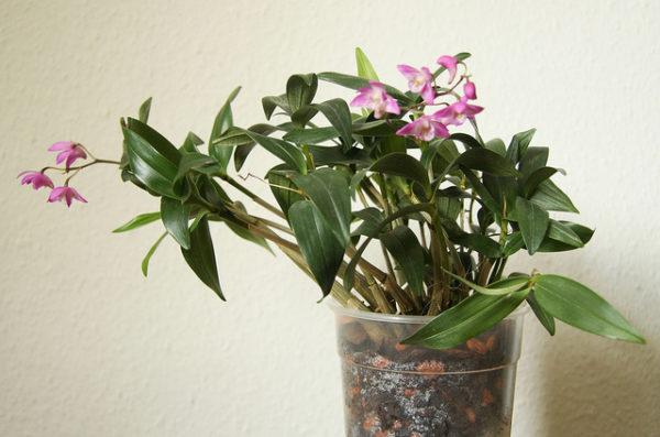 Dendrobium Kingianum vaso