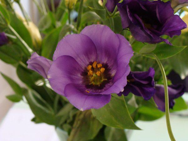 Lisianthus - Eustoma coltivazione in vaso