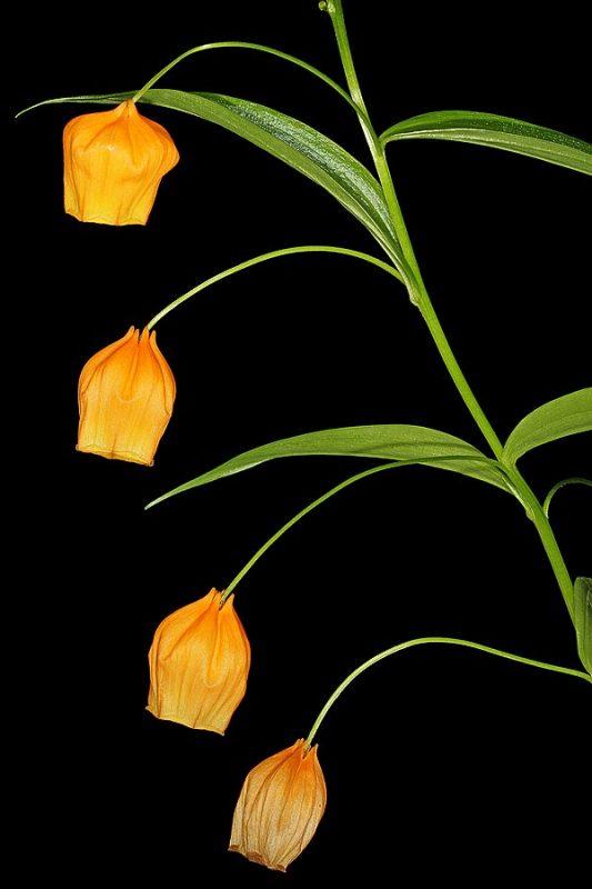 Sandersonia (Sandersonia aurantiaca)