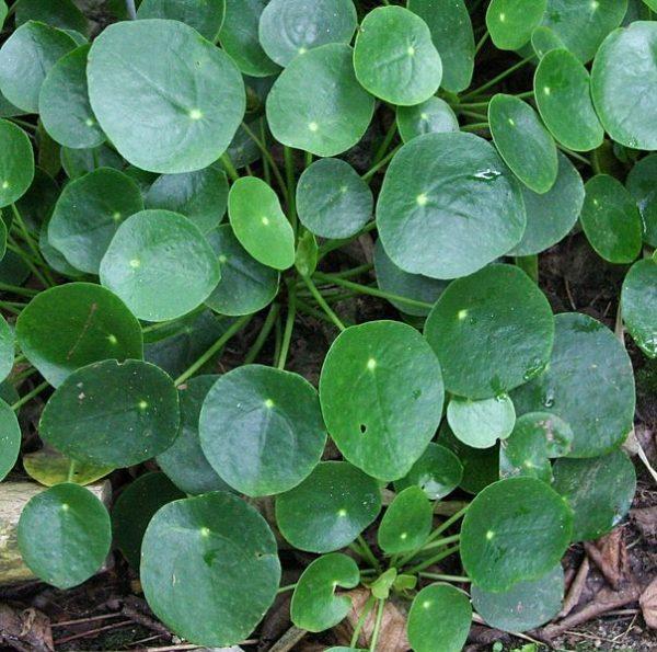 Pilea peperomioides (Pianta delle monete)