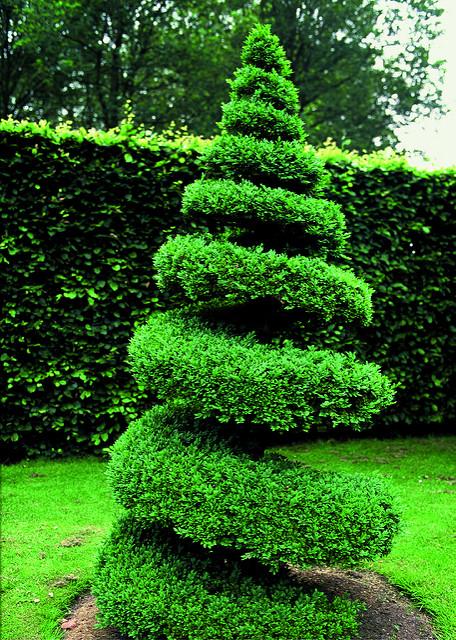 coltivazione Bosso (buxus sempervirens)