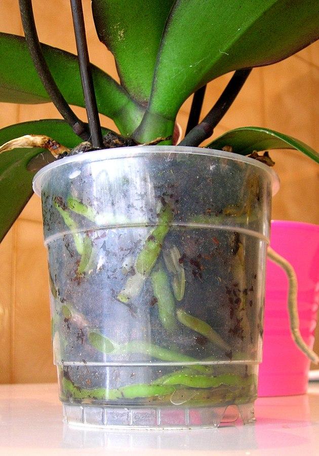 Radici verdi Orchidee phalaenopsis