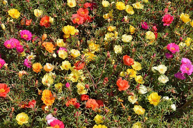 Portulaca grandiflora consigli coltivazione e cura for Portulaca commestibile