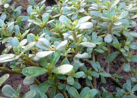 sottosp. Portulaca Oleracea