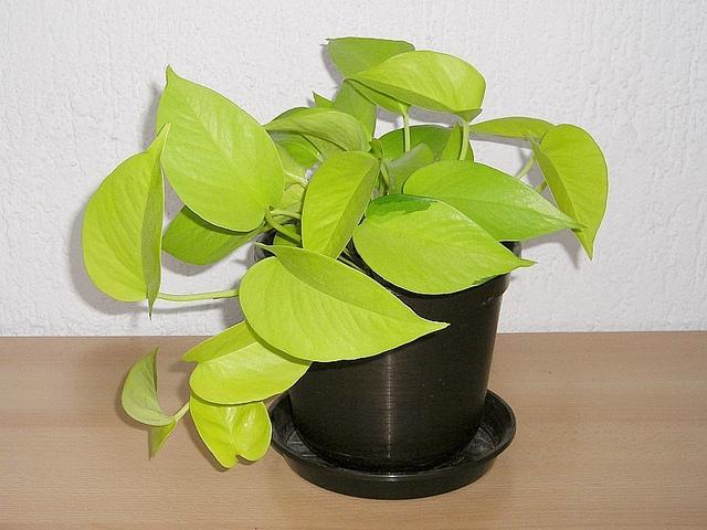 Efeutute (Epipremnum pinnatum Neon)