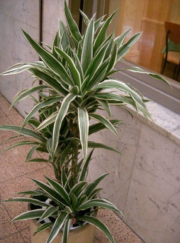 Dracaena deremensis ' Warneckii'