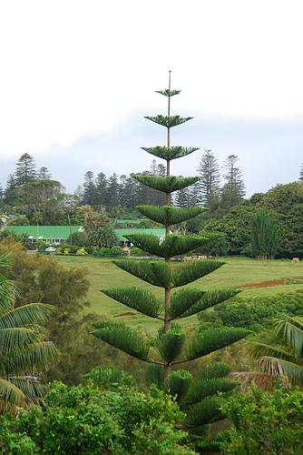 Araucaria heterophylla in piena terra