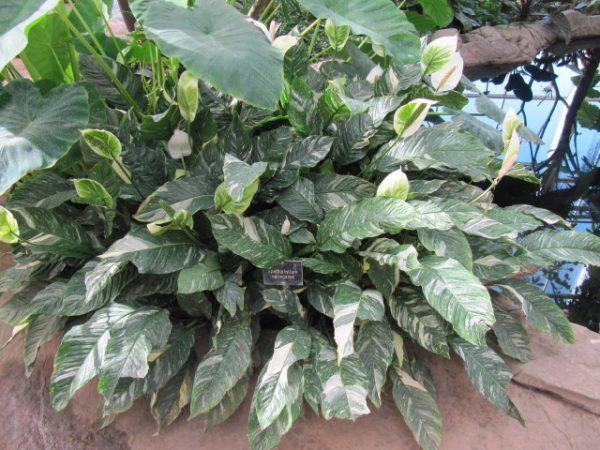Spathiphyllum con foglie variegate