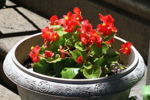 coltivazione in vaso begonia