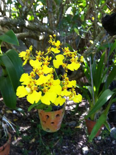 Oncidium urophyllum