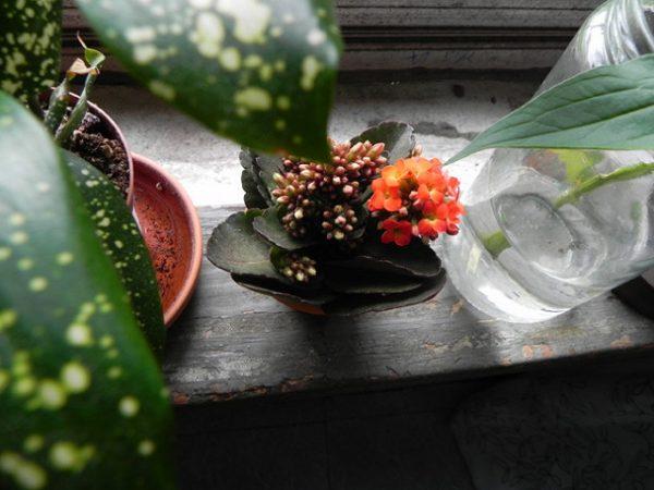calancoe coltivazione in vaso