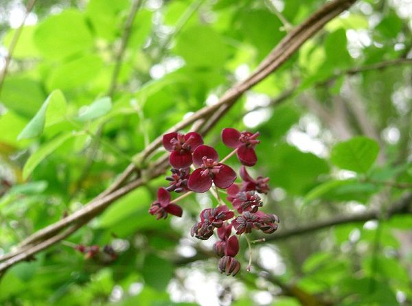coltivazione Akebia x pentaphylla