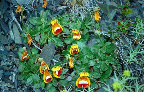 coltivazione calceolaria darwinii