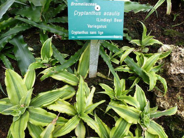 coltivazione cryptanthus acaulis