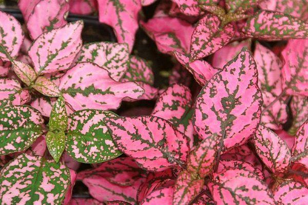 Hypoestes phyllostachya varietà Splash