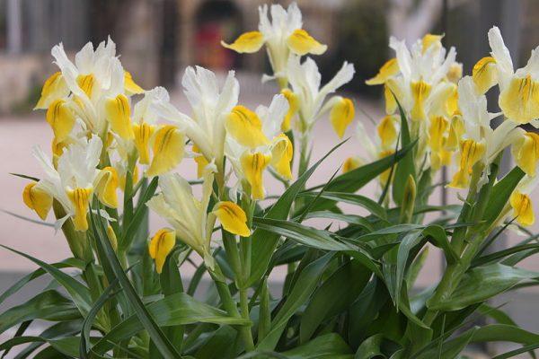 coltivazione Iris bucharica
