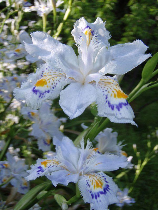 coltivazione iris japonica