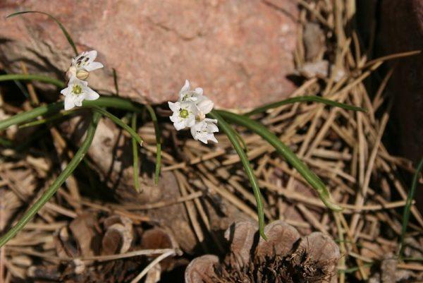 coltivazione specie Leucojum longifolium