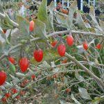 Bacche di Goji (Lycium barbarum e Lycium chinense)