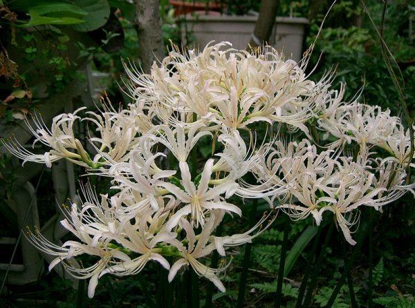 coltivazione lycoris albiflora