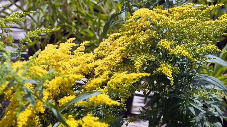 Coltivazione Solidago Crown of Rays