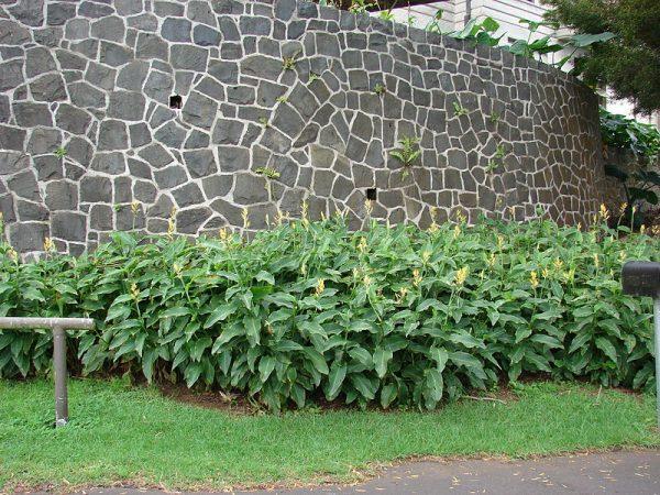 coltivazione in piena terra canna indica
