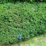 Tasso (Taxus – Albero della morte)