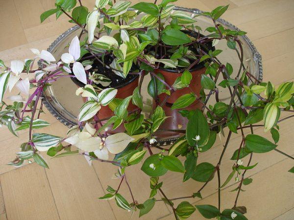 coltivazione in vaso tradescantia fluminensis (erba miseria)