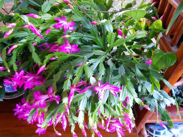 fioritura Schlumbergera