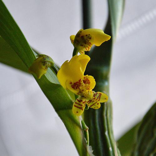 fioritura oncidium