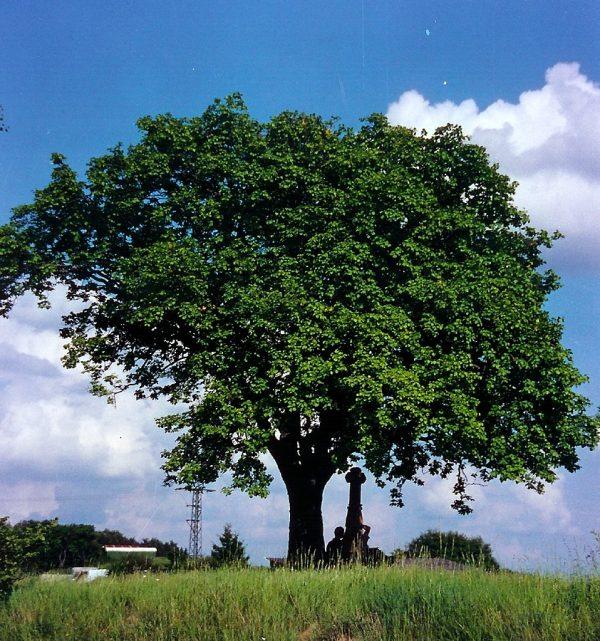 Ciavardello (Sorbus torminalis)