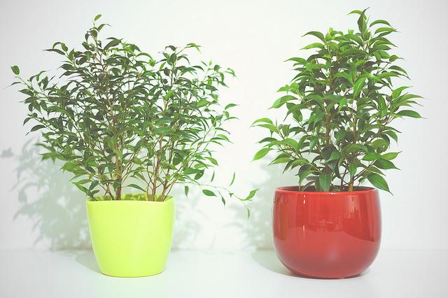 Ficus Benjiamina O Benjiamin O Beniamino Consigli Coltivazione E