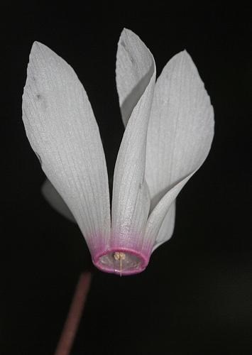 Ciclamino rhodium