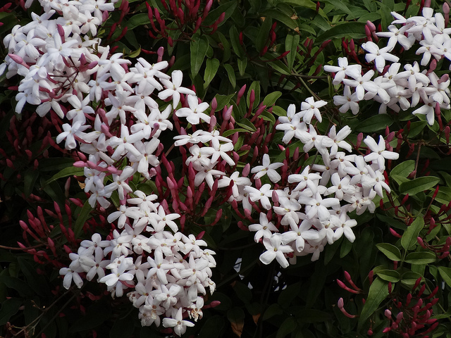 Jasminum polyanthum - Gelsomino