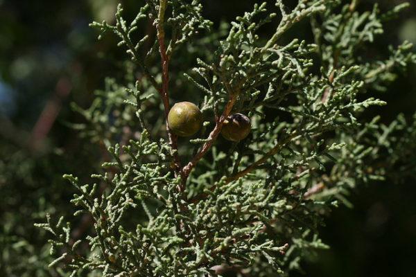 Ginepro phoenicea