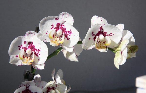 come concimare le Orchidee
