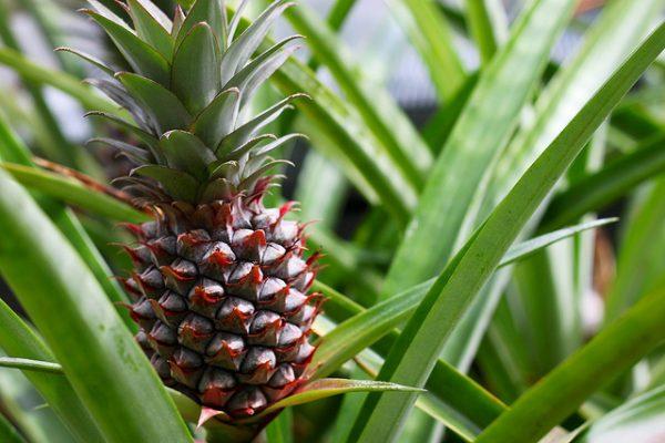 esposizione ananas comosus
