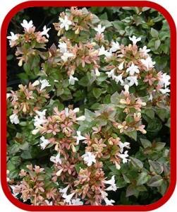 piante sempreverdi - Piante Sempreverdi Da Esterno Con Fiori