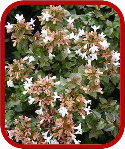 Pianta Sempreverde Con Fiori Bianchi.Abelia Chinensis Consigli Coltivazione E Cura