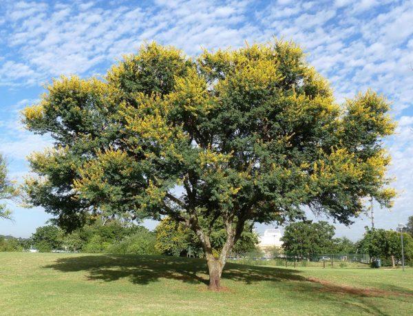 Imponente Acacia karroo