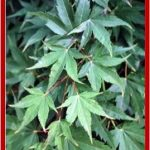 Acer palmatum nanum (acero nano)