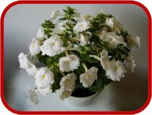 Achimenes consigli coltivazione e cura for Nomi di fiori bianchi profumati