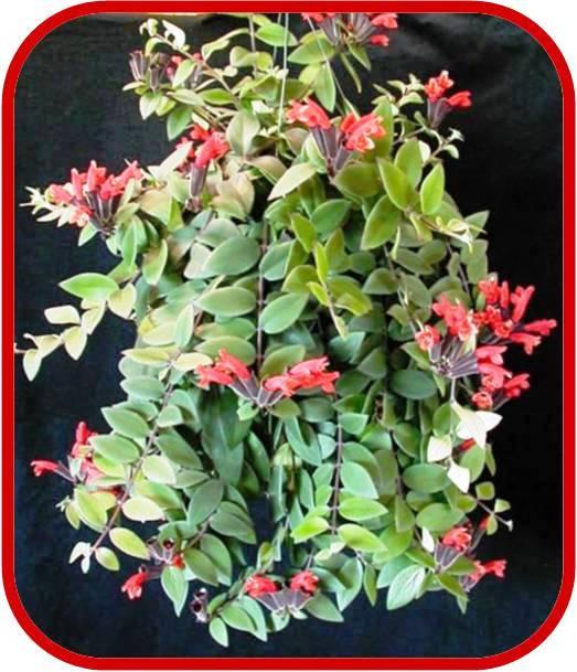 Aeschynanthus consigli coltivazione e cura for Pianta con fiori rossi